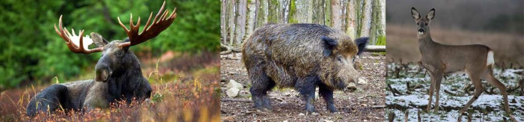 Jakttider-älg-vildsvin-rådjur